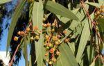 Эвкалипт от кашля — народные рецепты и медикаментозное лечение