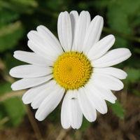Список лекарственных трав при бронхите у взрослых и детей