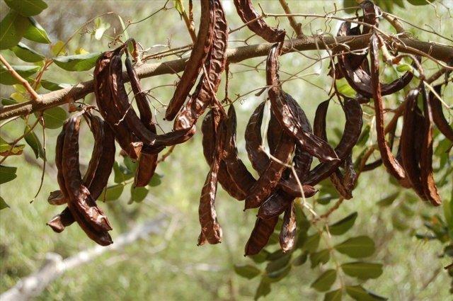Сироп рожкового дерева: способы использования