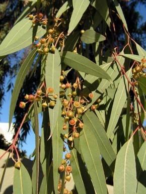 Как заваривать листья эвкалипта от кашля