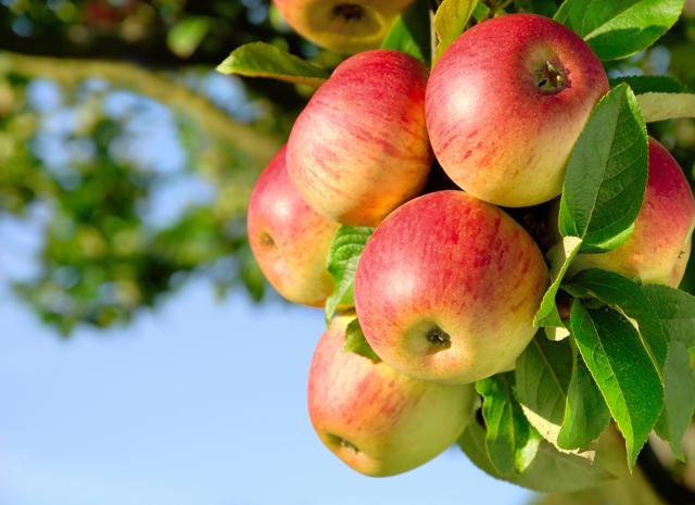 Новые данные о пользе яблок от французских учёных