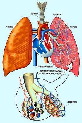 Строение дыхательной системы человека: особенности