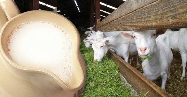 Как правильно принимать козье молоко при туберкулезе?